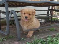 Hi there! We have two Golden Retriever/Chow Chow