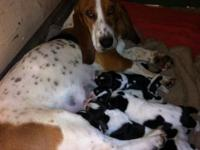 We have 8 Basset Hounds, 6 males, 2 females. They are