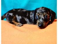 This beautiful CKC black & tan dapple dachshund litter