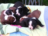 Very cute CKC Boston Terrier little bullies , exellent