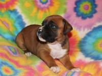 We only have 2 adorable female CKC boxer puppies