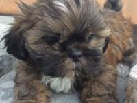 CKC male brindle with white highlights Shih Tzu puppy