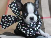 We have a trash sweet boston terrier puppies available