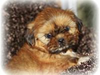 I have adorable fluffy ckc champion bloodline Shih Tzu