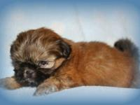 I have 1 adorable fluffy ckc champion bloodline Shih