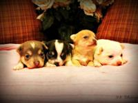 We have Adorable CKC Chihuahua Puppies Born 1/24/2015