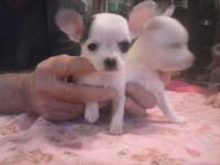Adorable CKC Chihuahua puppies will be ready to go to