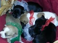 CKC Chihuahua Puppies are here !!! Will be fully ready