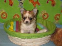 One super adorable male chihuahua puppy born 5-1-12 for
