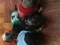 Hi I have 6 purebreed ckc chihuahuas for sale 3 male 3