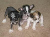 3 adorable 5 weeks old Chinese Crested puppies for