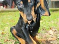 I have 2 females left. ckc doberman pincher puppies.