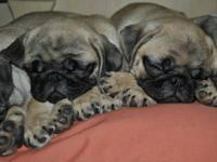 CKC Registered Pug Puppies - These cuties were born on