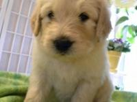 Mom is a medium gold AKC registered Golden Retriever