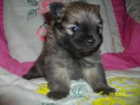 I have a male Pomeranian puppy who is trying to find