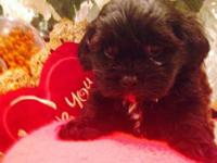 ADORABLE SHIH-POO PUPPY MALE PUPPY, READY FOR HIS NEW
