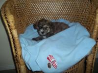 We have an adorable CKC reg. male Yorkie-Chon puppy