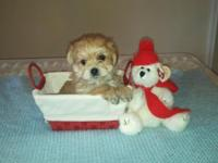We have an adorable little male CKC reg. Yorkie-Chon