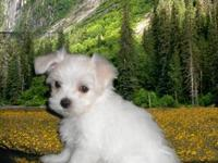 Adorable CKC Maltese puppies born on March 21st and