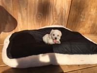 Hello! We have 5 ADORABLE maltese puppies. Born