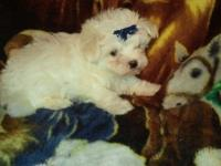 I have two male Maltese babies looking for their fur