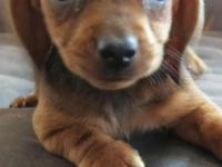 Adorable CKC registerable Mini Dachshund puppy, sweet
