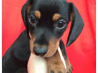 CKC Miniature Dachshund Puppies, Variety of Colors,