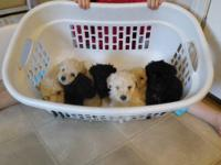 Beautiful CKC Registered Miniature Poodle Puppies born