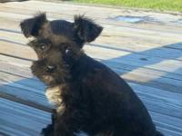 I have three CKC registered Miniature Schnauzer puppies