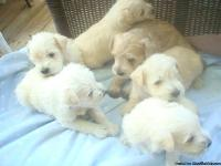 Adorable CKC Miniature Schnauzer Male White Puppies,