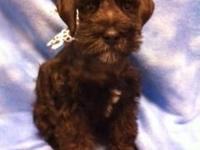 Beautiful little male schnauzer, black colored with