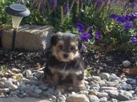 Adorable Morkie puppies available. Black/tan and Black