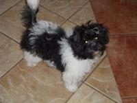 Black & White Parti colored female Papipoo ready for