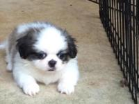 Beautiful 7 week old CKC Peke A Tzu puppies ready for