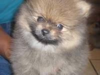 Two adorable male Pomeranian puppies. They are playful