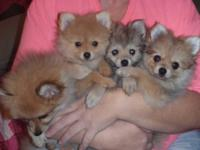 CKC Pomeranian Puppies 4 tiny females $450.00 each 9