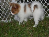 NEW LOWER PRICE as of 8/28. 2 Pomeranian puppies. Born