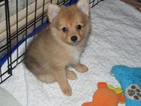 Available to join your loving home 4 Pomeranian