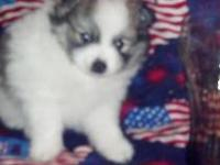 Beautifual pomeranian puppy for sale. Will be small mom