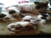 Cute small balls of fur, enjoyable liking Pomeranian's.
