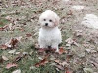 Cute 9 Week old CKC white/cream poodle puppies for