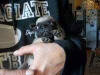 Beautiful Pug Puppies for sale. Only 1 male left from a