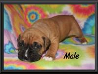 We have four adorable CKC boxer puppies for sale (3
