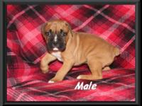 We have two adorable CKC boxer puppies for sale (1