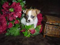 This beautiful female chihuahua is CKC registered. She