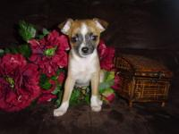 This beautiful male chihuahua is CKC registered. He is
