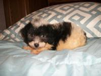Sweet, adorable, CKC Reg. Miniature Poodle Puppy.