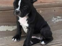 Boston Terrier Puppies ,CKC Registered, 2 Females, 11