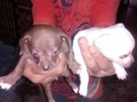 *****ONLY 3 PUPPIES LEFT***** These adorable Chihuahua