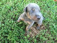 Adorable CKC registered Doberman Pinscher puppies! We